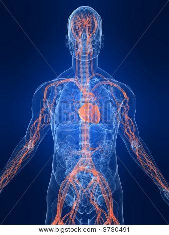 Highlighted Vascular System