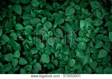 Dense Dark Green Leaves In The Garden. Emerald Green Leaf Texture. Nature Abstract Background. Tropi
