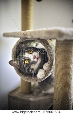 Funny Striped Kitten With Golden Eyes Playing With Scratcher