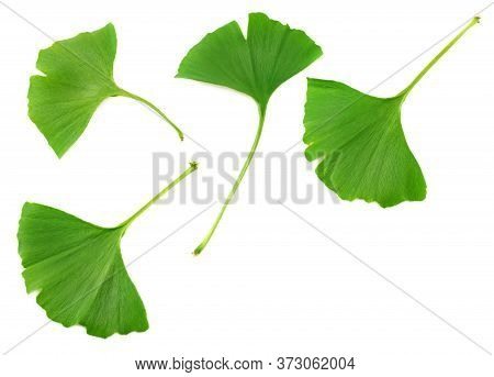 Ginkgo Biloba Leaves Isolated On White Background. Top View