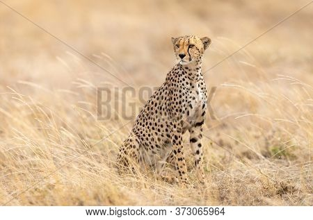 One Beautiful Adult Female Cheetah Sitting Upright Looking Alert Surrounded By Tall Soft Grass In Se