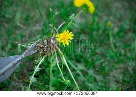 The Gardener Removes Weeds From The Lawn With A Hand Cultivator. Device For Removing Dandelion Weeds