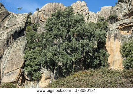 Views Of The Cork Oak El Bandolero, The Highwayman Cork Oak. It Is A Special Big Cork Oak, Quercus S