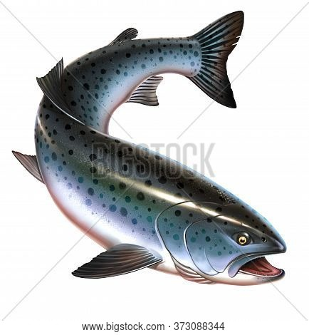 Rainbow Trout Fish On White Background. Chinook Salmon, Salmon, Snout Fish Big Realistic Isolated Il