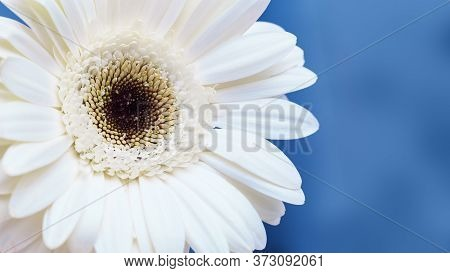 White Gerbera Flower Close Up With Blue Classic Background With Copy Space. Natural Flowery Backgrou