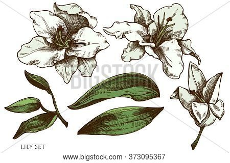Vector Set Of Hand Drawn Colored Lily Stock Illustration