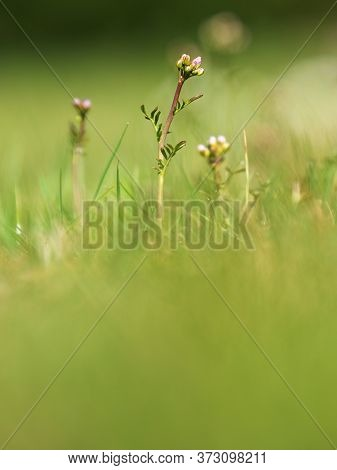 Buds Of Cardamine Pratensis Cuckooflower On Blurry Background. Plant Known As  Lady`s Smock, Mayflow