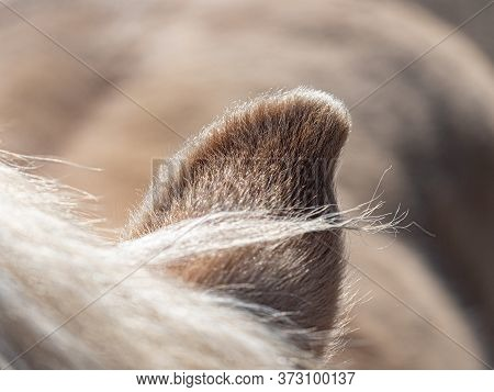 Sharp Curly End Of Horse Ear With Few Fibers Of Mane. Dentle Hairy Outline Of Earlobe Turned In The