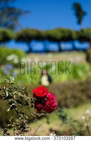 Colorful Rose Of Botanical Garden And Rose Garden Of Ooty Tamilnadu