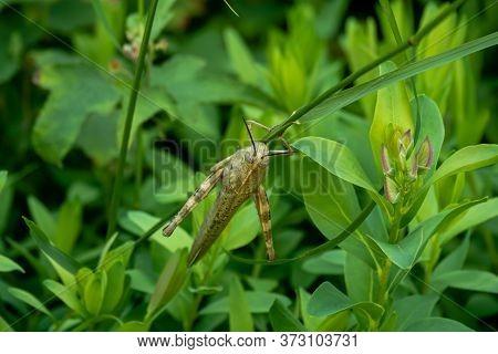 Huge Spanish Grasshopper Closeup On The Bush