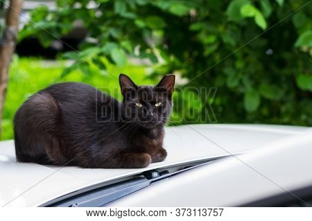 """Black Cat With Cropped Ear Sitting On The Car. This Is Called """"ear-tipping,"""" And Is Actually A Sign"""