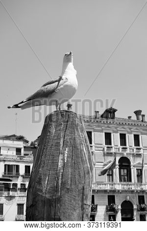 Gull on the top of wooden mooring pole in Venice, Italy.  Black and white venetian scene