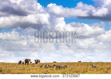 Elephant herd and zebras roam the grasslands of the Masai Mara, Kenya.