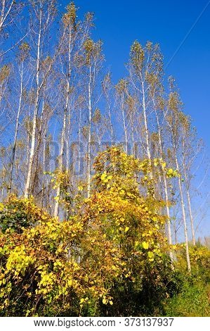 Autumn Foliage In Special Nature Reserve Koviljsko Petrovaradinski Rit (kovilj - Petrovaradin Marshe