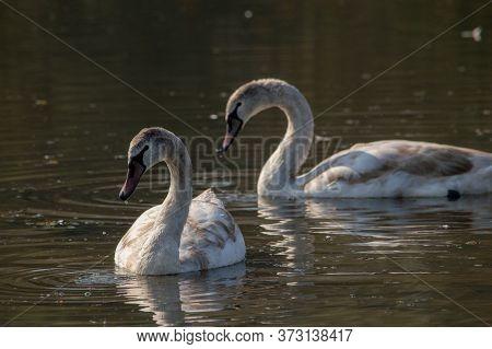White Swans Swimming In The Lake Of Special Nature Reserve Koviljsko Petrovaradinski Rit (kovilj - P