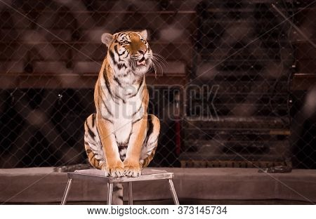 A Circus Tiger Is Obediently Sitting On A Pedestal In The Arena. The Grid Is Stretched Around The Pe