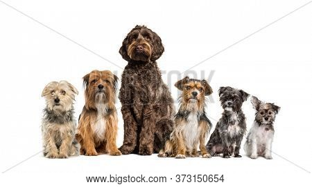 Group of crossbreed dogs sitting in a row, isolated on white