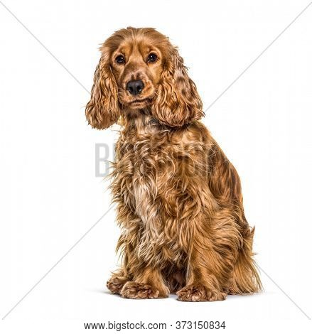 Cocker spaniel anglais sitting in front