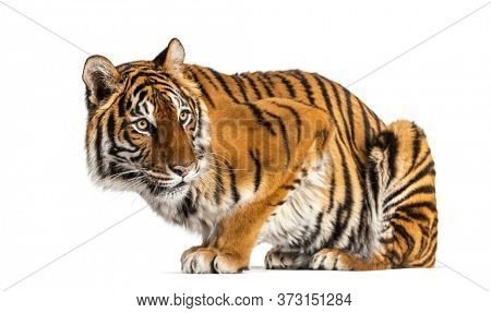 Tiger looking away, isolated on white