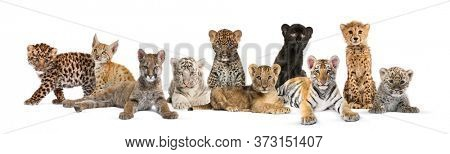 Large group of many wild cats cub together in a row