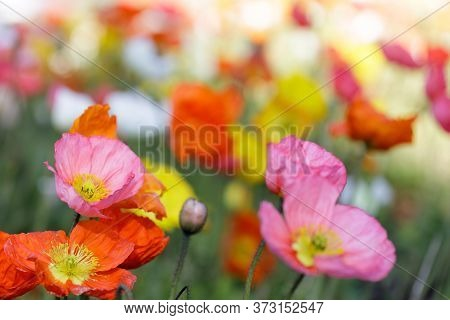 Iceland Poppies In Bloom. Conservatory Of Flowers, San Francisco, California, Usa.