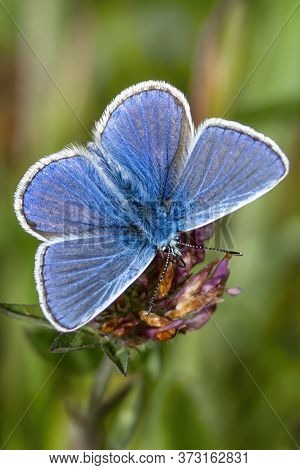 Adonis Blue Butterfly With Wings Outstretched In Spring Stock Photo