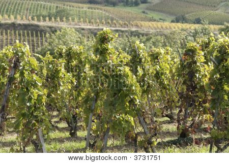 Vineyards In Northern Rhone Valley (France)