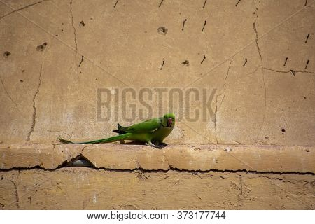 Indian Parakeet Sitting In A Fort Wall Of Jaipur