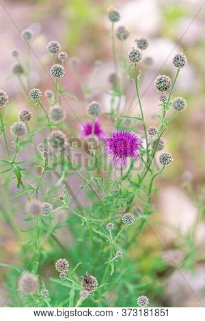 Purple Thistle Blossom And Buds In Summer. Close Up.