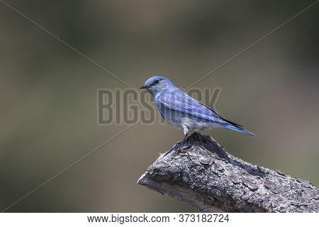 Mountain Bluebird Perched In British Columbia Interior Canada