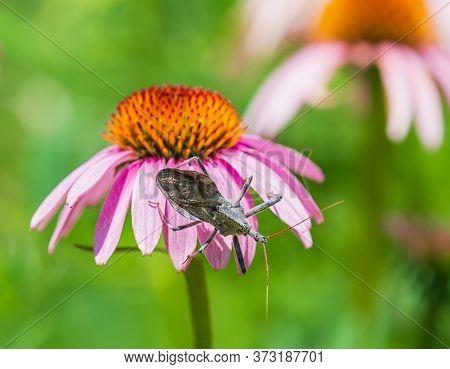 Wheel Bug (arilus Cristatus) Crawling On Purple Coneflower