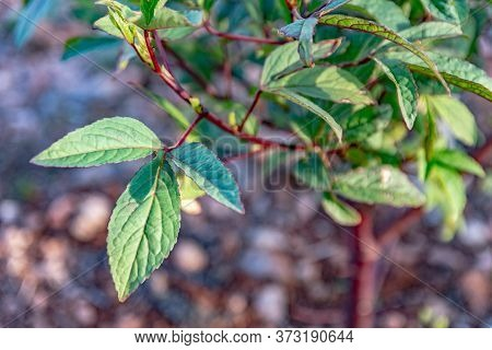 Roselle Plant, Called Sorrel In Jamaica And The Caribbean, And Saril In Other Countries, Is A Specie