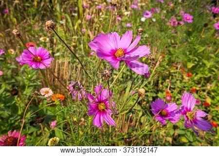 Pink Flowers Of Anemone Japanese Hupehensis 'prinz Heinrich' In A Garden.