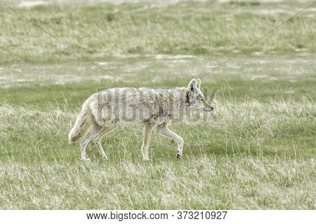 Side View Of Coyote In Yellowstone Park In Wyoming.