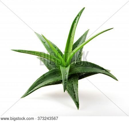 Aloe Vera Plant Isolated On White Background. Aloe Vera Is A Succulent Plant Species Of The Genus Al