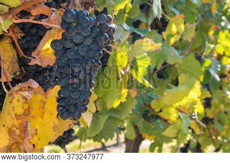 Bunch Of Ripe Pinot Noir Grapes Growing On Vine In Vineyard At Harvest Time