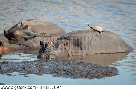 Pod Of Hippos Resting In Water With One Hippo Looking Alert With Red Billed Ox Pecker Sitting On His