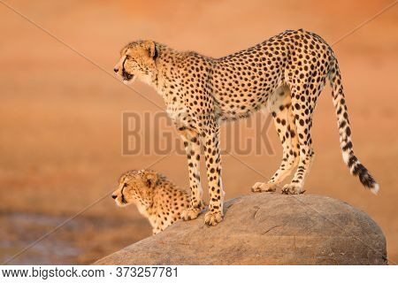 Full Body Side Portrait Of An Adult Cheetah Standing On A Big Rock With Orange Background At Sunset
