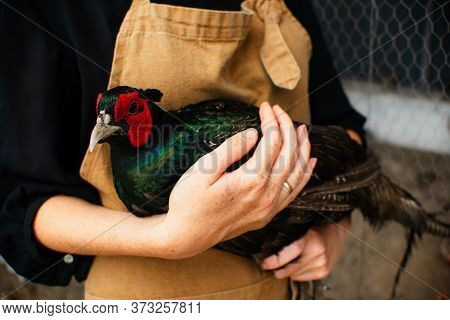Womans Holds In His Hands A Male Romanian Pheasant. Agriculture, Domestic Poultry, Pheasant Farm