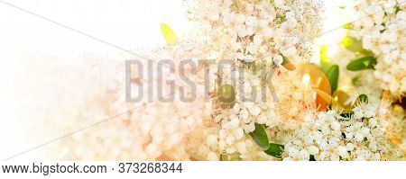 Cherry Tree Flower Sblossoming On Heavy Lit  Sunny Day Sky Background