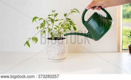 Woman Watering Ficus With A Watering Can. The Concept Of Home Gardening.