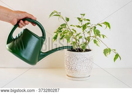 Ficus Benjamin. Care For Home Plants. Watering Can In A Female Hand.