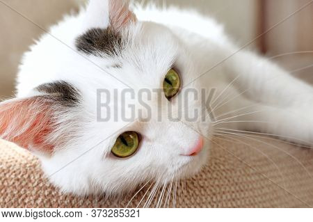 Close-up Of The Muzzle Of A White Domestic Cat Lying On The Sofa. Soft Fluffy Charming Shorthair Cat