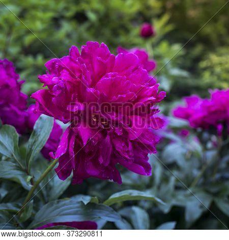 Peony. Macro Photo Of Pink Peony. Big Pink Flower In Summer Garden. Summer Nature. Peony Bloom. Peon