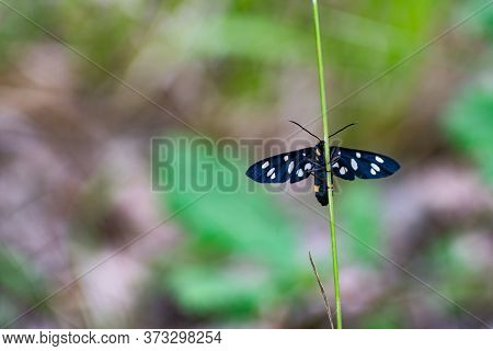 Black Moth With White Dots On A Vertical Grass Blade