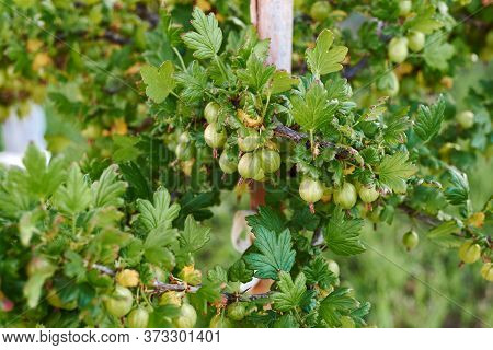 Fresh And Ripe Green Gooseberries On Branch Of Gooseberry Bush In The Fruit Garden. Close-up View Of