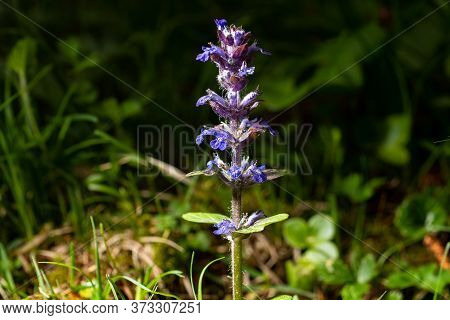 Side View Of The Ajuga On The Meadow