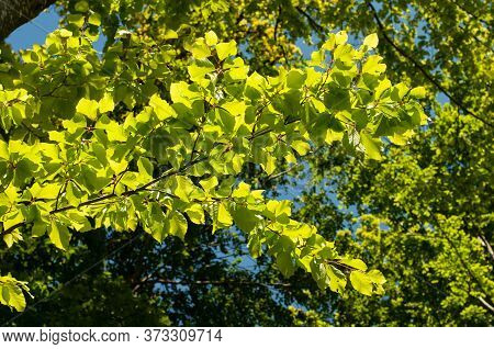 Fresh Green Leaves At A Branch Of A Beech Tree In Sunlight