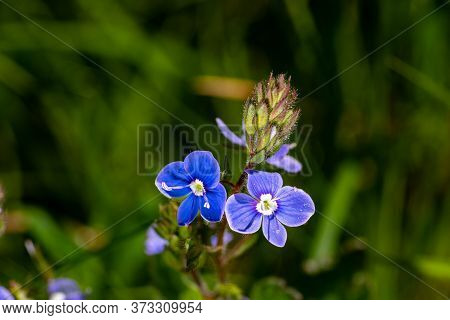 Side View Of The Blue Veronica Flower