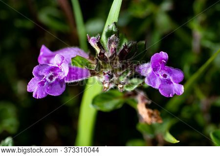 Top View Of The Flowers Of The Purple Alpine Calamint